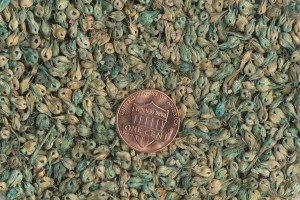 Buffalograss Seed